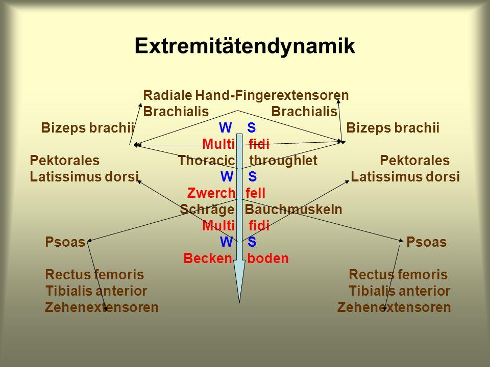 Extremitätendynamik Radiale Hand-Fingerextensoren Brachialis Brachialis Bizeps brachii W S Bizeps brachii Multi fidi Pektorales Thoracic throughlet Pe