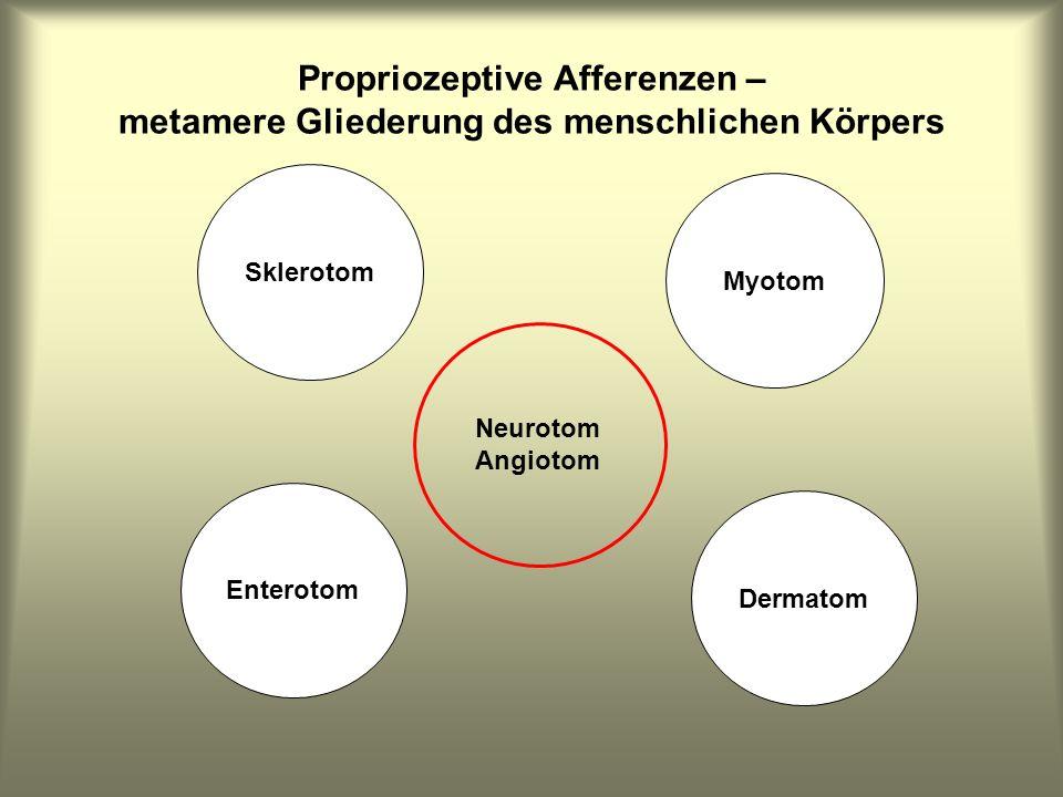 Sklerotom Enterotom Dermatom Myotom Neurotom Angiotom Propriozeptive Afferenzen – metamere Gliederung des menschlichen Körpers