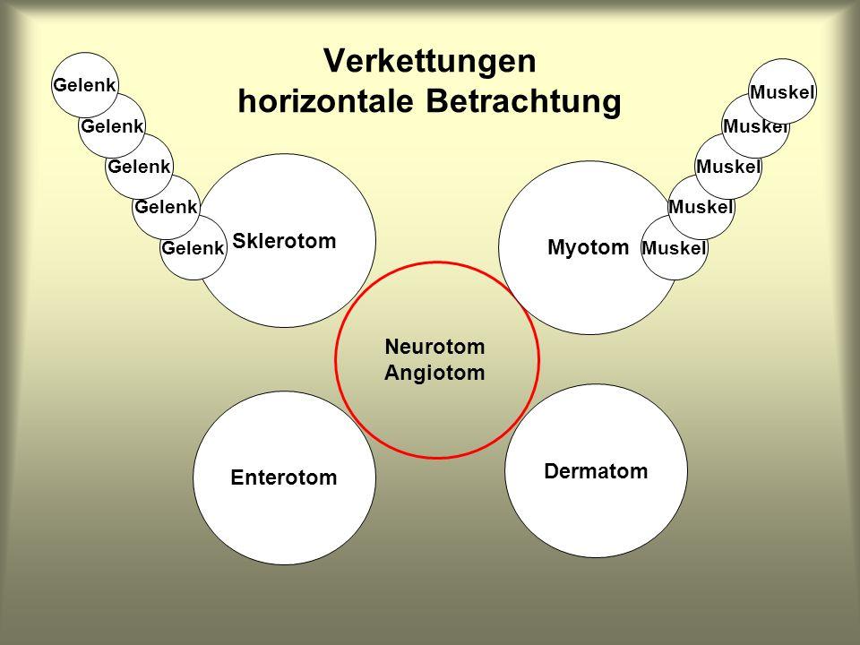 Sklerotom Enterotom Dermatom Myotom Neurotom Angiotom Verkettungen horizontale Betrachtung Muskel Gelenk