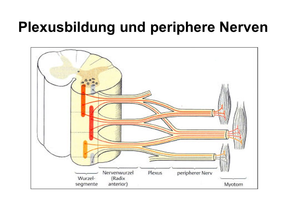 Begriffe 1.1 Nervenwurzel in das ZNS ein- und austretenden Nervenfasern (Axonbündel) Im Rückenmarksbereich : 31 Wurzeln, segmental organisiert.