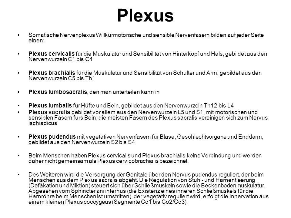 Plexus Somatische Nervenplexus Willkürmotorische und sensible Nervenfasern bilden auf jeder Seite einen: Plexus cervicalis für die Muskulatur und Sens