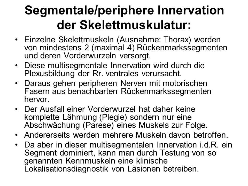 Segmentale/periphere Innervation der Skelettmuskulatur: Einzelne Skelettmuskeln (Ausnahme: Thorax) werden von mindestens 2 (maximal 4) Rückenmarkssegm