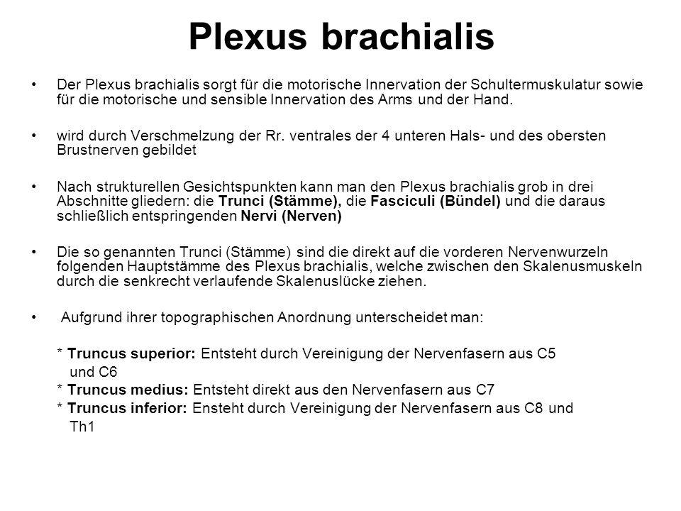 Plexus brachialis Der Plexus brachialis sorgt für die motorische Innervation der Schultermuskulatur sowie für die motorische und sensible Innervation