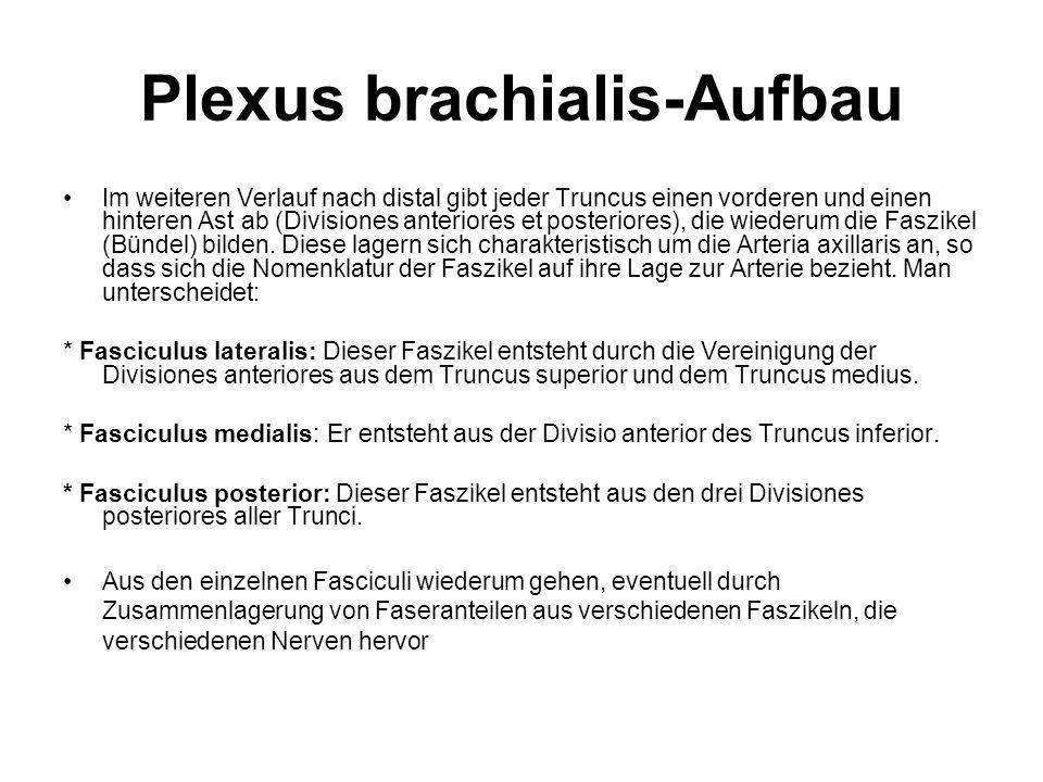 Plexus brachialis-Aufbau Im weiteren Verlauf nach distal gibt jeder Truncus einen vorderen und einen hinteren Ast ab (Divisiones anteriores et posteri