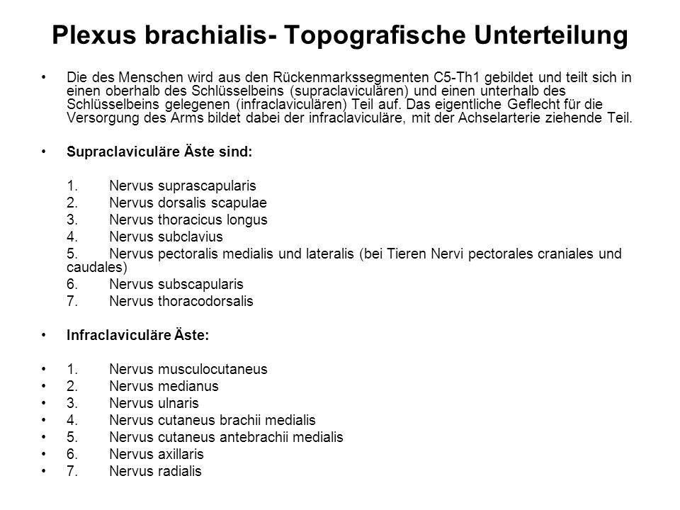 Plexus brachialis- Topografische Unterteilung Die des Menschen wird aus den Rückenmarkssegmenten C5-Th1 gebildet und teilt sich in einen oberhalb des