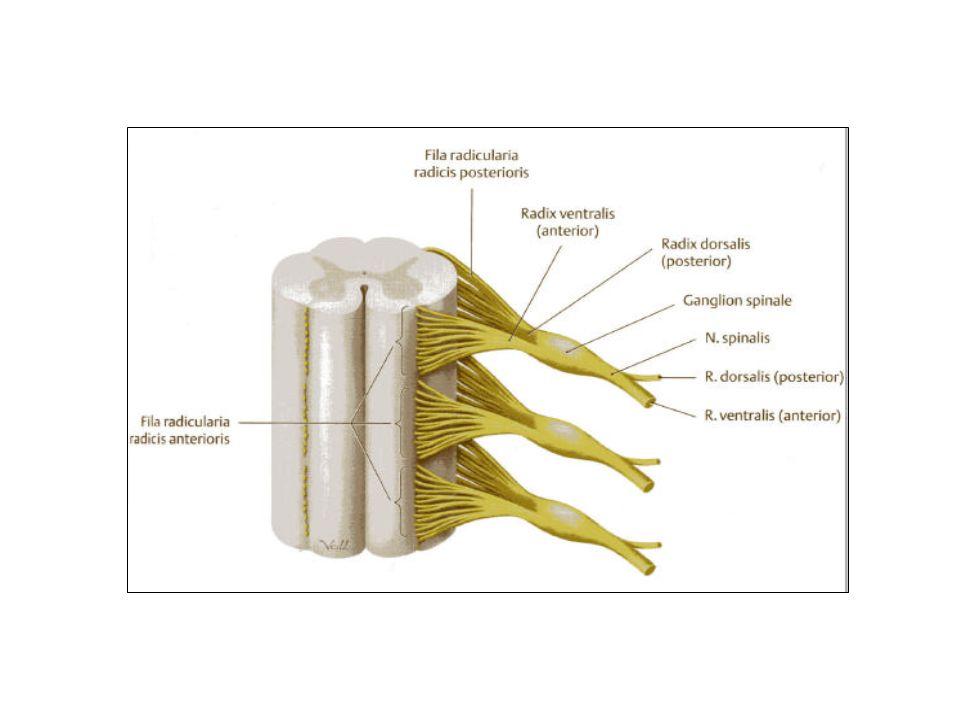 Plexusbildung Insgesamt besteht das Rückenmark aus 8 Hals-, 12 Brust-, 5 Lenden-, und 5 Kreuzbeinsegmenten.
