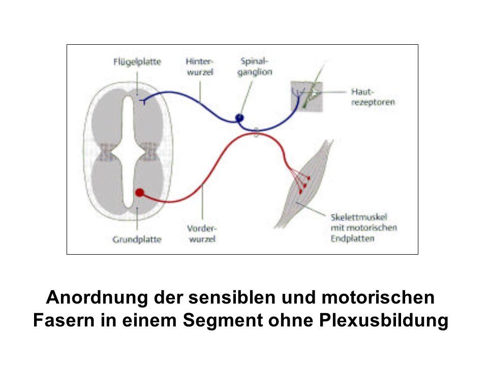 Anordnung der sensiblen und motorischen Fasern in einem Segment ohne Plexusbildung