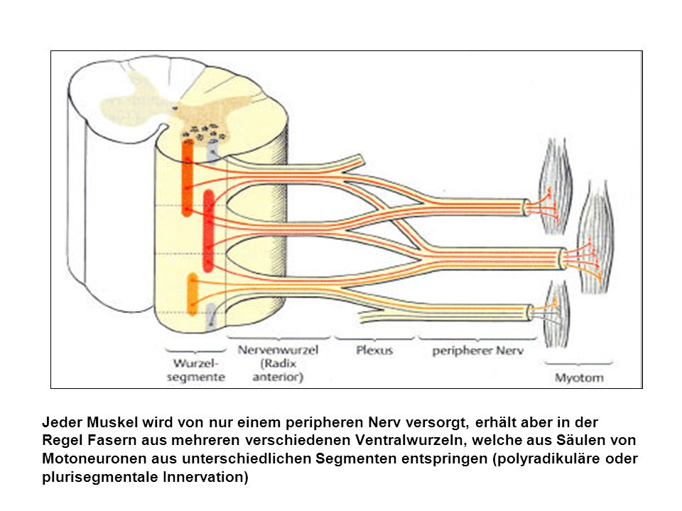 Jeder Muskel wird von nur einem peripheren Nerv versorgt, erhält aber in der Regel Fasern aus mehreren verschiedenen Ventralwurzeln, welche aus Säulen