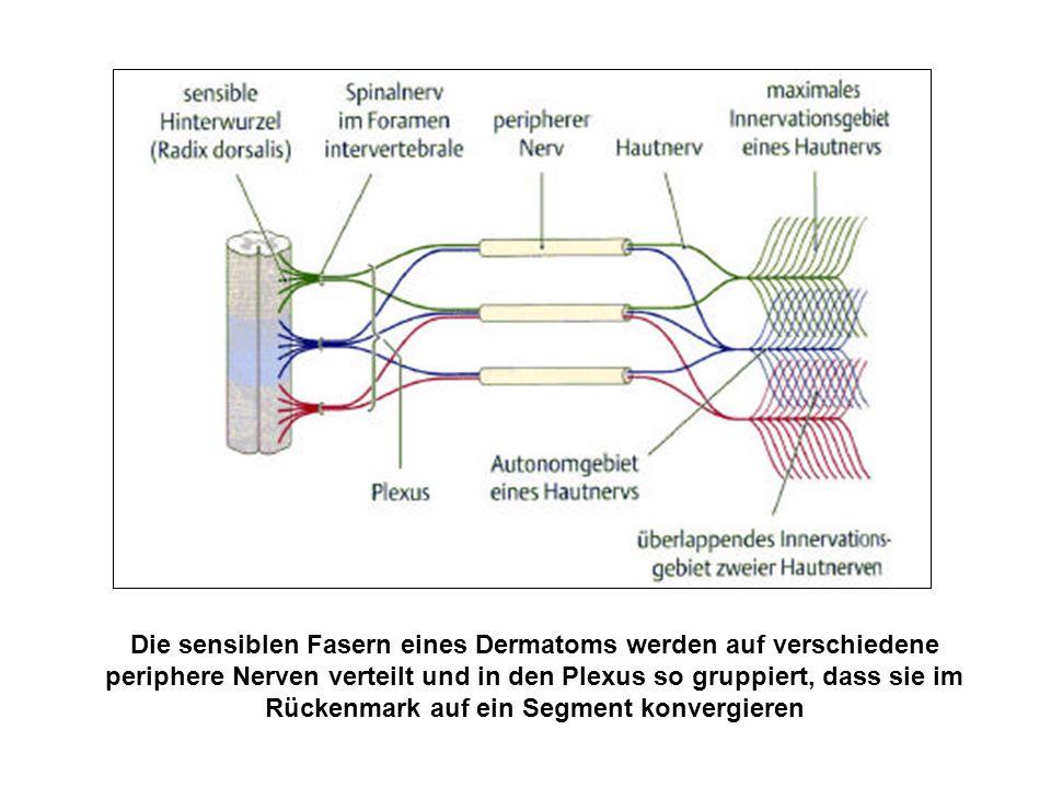 Die sensiblen Fasern eines Dermatoms werden auf verschiedene periphere Nerven verteilt und in den Plexus so gruppiert, dass sie im Rückenmark auf ein