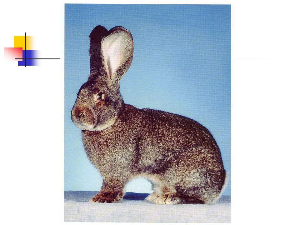 Zuchtziel Es ist die größte und schwerste aller Kaninchenrassen und überragt die übrigen an Länge und Gewicht.