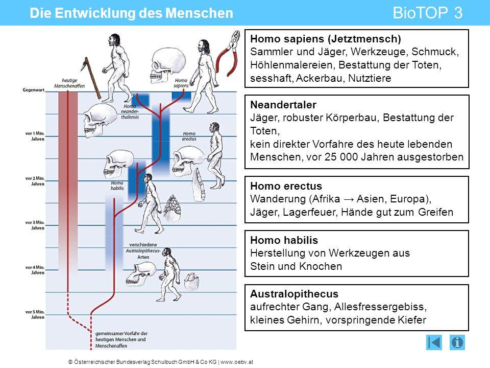 © Österreichischer Bundesverlag Schulbuch GmbH & Co KG | www.oebv.at BioTOP 3 Die Entwicklung des Menschen Australopithecus aufrechter Gang, Allesfres