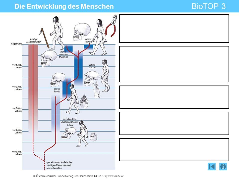 © Österreichischer Bundesverlag Schulbuch GmbH & Co KG   www.oebv.at BioTOP 3 Die Entwicklung des Menschen AustralopithecusHomo habilisHomo erectusNeandertalerHomo sapiens