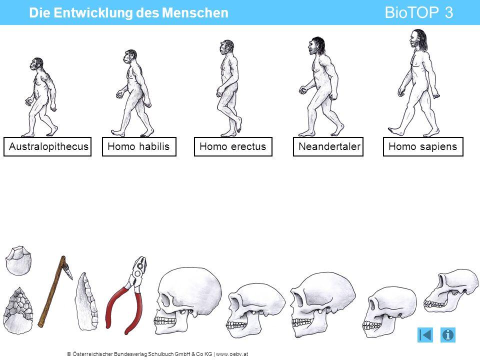© Österreichischer Bundesverlag Schulbuch GmbH & Co KG | www.oebv.at BioTOP 3 Die Entwicklung des Menschen AustralopithecusHomo habilisHomo erectusNea