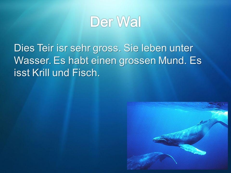 Dies Teir isr sehr gross. Sie leben unter Wasser. Es habt einen grossen Mund. Es isst Krill und Fisch.
