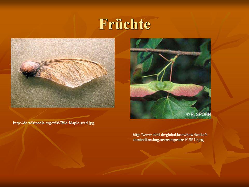 Früchte http://de.wikipedia.org/wiki/Bild:Maple-seed.jpg http://www.stihl.de/global/knowhow/lexika/b aumlexikon/img/acercampestre-F-SP10.jpg