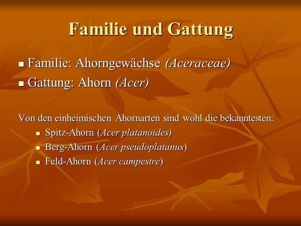 Familie und Gattung Familie: Ahorngewächse (Aceraceae) Familie: Ahorngewächse (Aceraceae) Gattung: Ahorn (Acer) Gattung: Ahorn (Acer) Von den einheimi