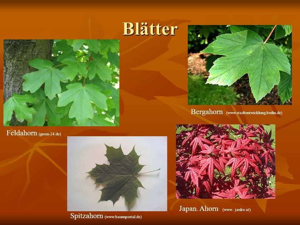 Blätter Feldahorn (green-24.de) Bergahorn (www.stadtentwicklung.berlin.de) Spitzahorn (www.baumportal.de) Japan. Ahorn (www. janko.at)
