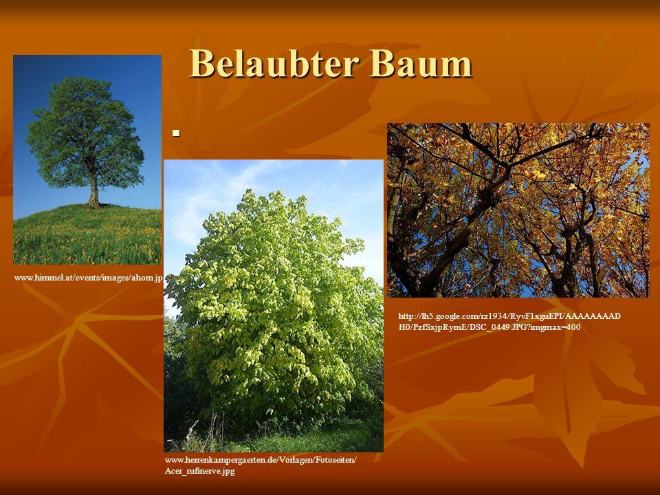 Belaubter Baum www.himmel.at/events/images/ahorn.jpg www.herrenkampergaerten.de/Vorlagen/Fotoseiten/ Acer_rufinerve.jpg http://lh5.google.com/rz1934/R