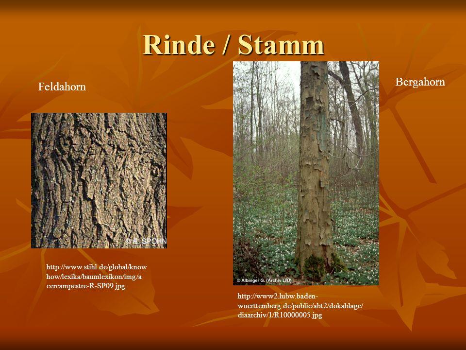 Rinde / Stamm http://www.stihl.de/global/know how/lexika/baumlexikon/img/a cercampestre-R-SP09.jpg Feldahorn Bergahorn http://www2.lubw.baden- wuertte