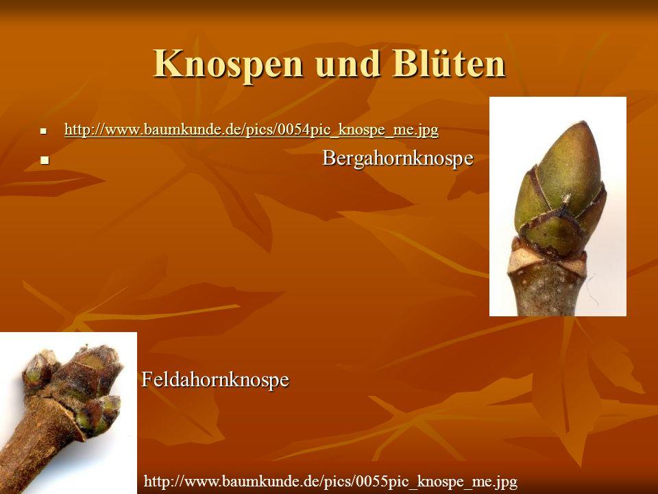 Knospen und Blüten http://www.baumkunde.de/pics/0054pic_knospe_me.jpg http://www.baumkunde.de/pics/0054pic_knospe_me.jpg http://www.baumkunde.de/pics/