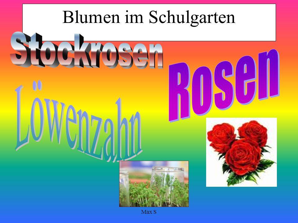 Max S Schulgarten Welche Blumen wachsen im Schulgarten? Löwenzahn, Stockrosen, Rosen,