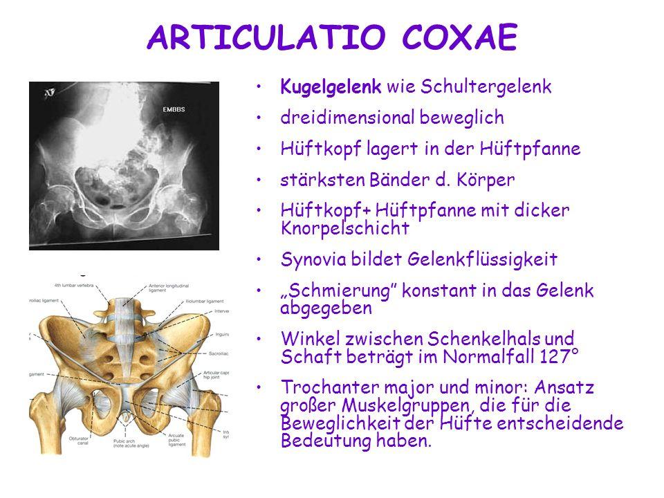 ARTICULATIO COXAE Kugelgelenk wie Schultergelenk dreidimensional beweglich Hüftkopf lagert in der Hüftpfanne stärksten Bänder d. Körper Hüftkopf+ Hüft