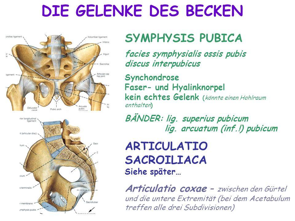DIE GELENKE DES BECKEN SYMPHYSIS PUBICA facies symphysialis ossis pubis discus interpubicus Synchondrose Faser- und Hyalinknorpel kein echtes Gelenk (
