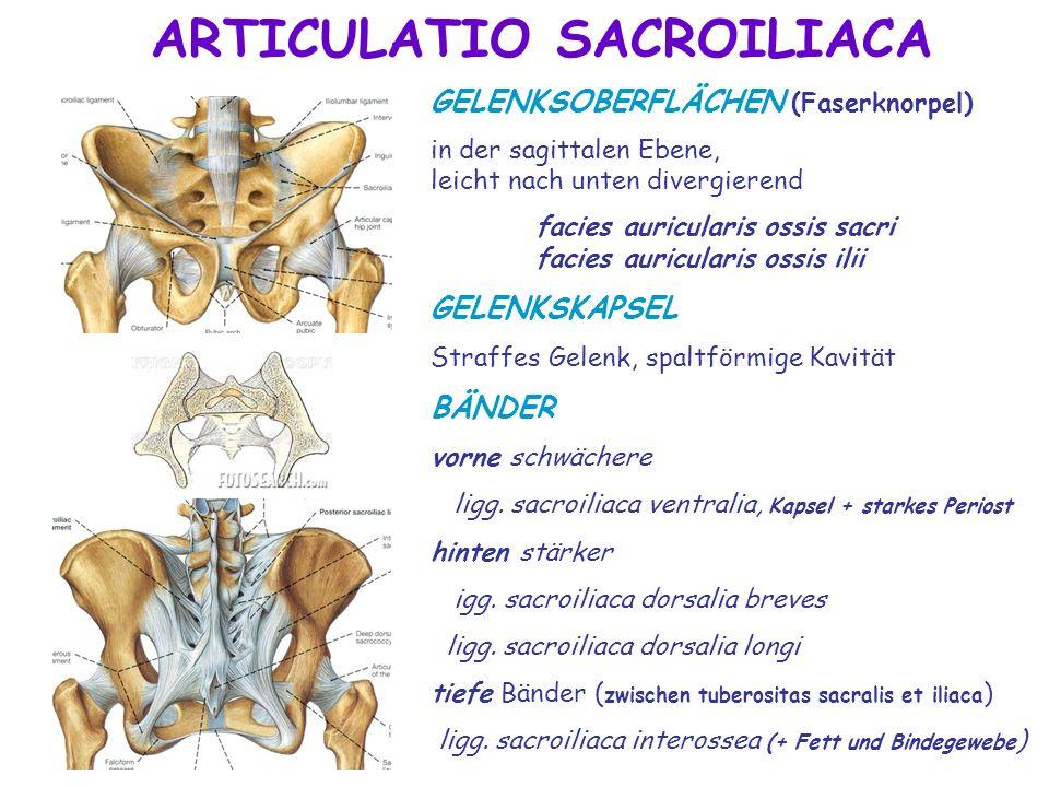 ARTICULATIO SACROILIACA GELENKSOBERFLÄCHEN (Faserknorpel) in der sagittalen Ebene, leicht nach unten divergierend facies auricularis ossis sacri facie