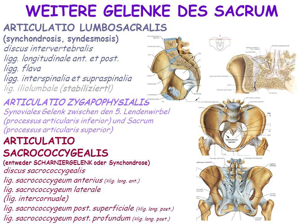 ARTICULATIO LUMBOSACRALIS (synchondrosis, syndesmosis) discus intervertebralis ligg. longitudinale ant. et post. ligg. flava ligg. interspinalia et su