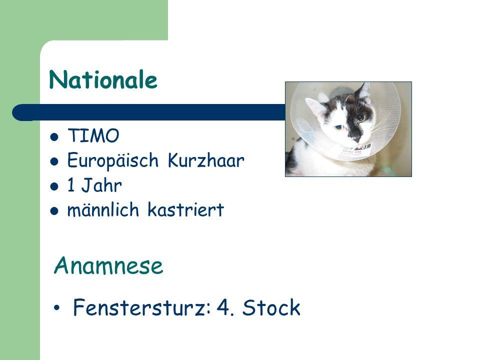 Nationale TIMO Europäisch Kurzhaar 1 Jahr männlich kastriert Anamnese Fenstersturz: 4. Stock
