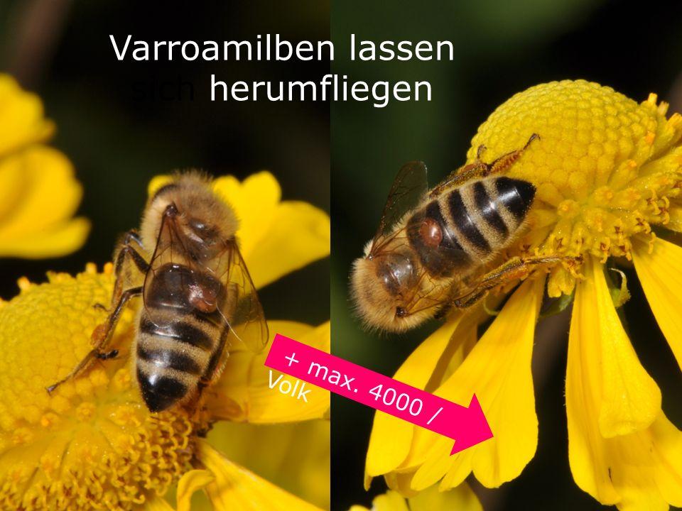 Varroamilben lassen sich herumfliegen + max. 4000 / Volk