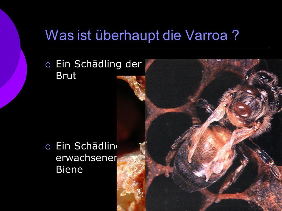Was ist überhaupt die Varroa ? Ein Schädling der Brut Ein Schädling der erwachsenen Biene