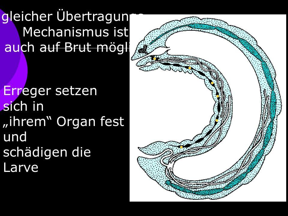 gleicher Übertragungs- Mechanismus ist auch auf Brut möglich Erreger setzen sich in ihrem Organ fest und schädigen die Larve