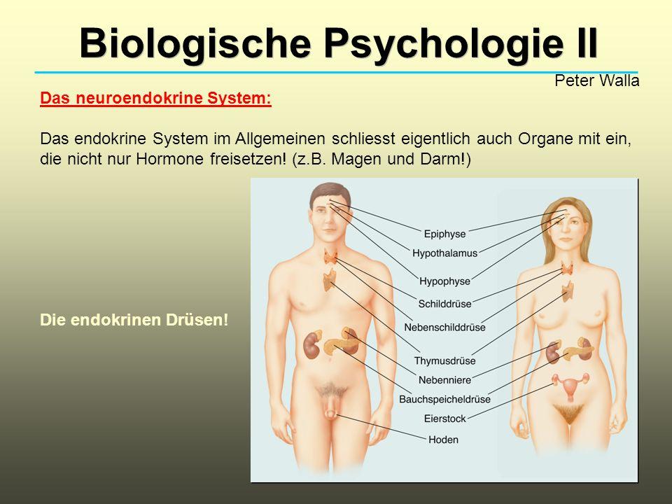 Biologische Psychologie II Peter Walla Das neuroendokrine System: Das endokrine System im Allgemeinen schliesst eigentlich auch Organe mit ein, die ni
