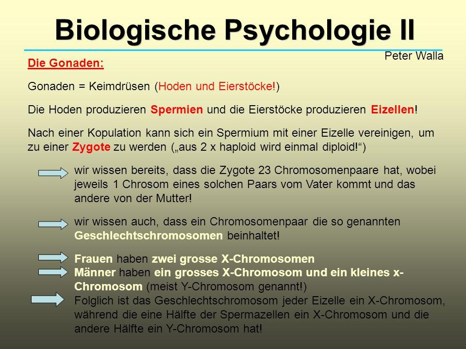 Biologische Psychologie II Peter Walla Die Gonaden: Gonaden = Keimdrüsen (Hoden und Eierstöcke!) Die Hoden produzieren Spermien und die Eierstöcke pro