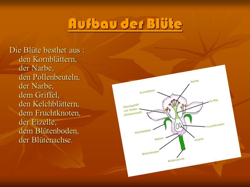 Aufbau der Blüte Die Blüte besthet aus : den Kornblättern, der Narbe, den Pollenbeuteln, der Narbe, dem Griffel, den Kelchblättern, dem Fruchtknoten,