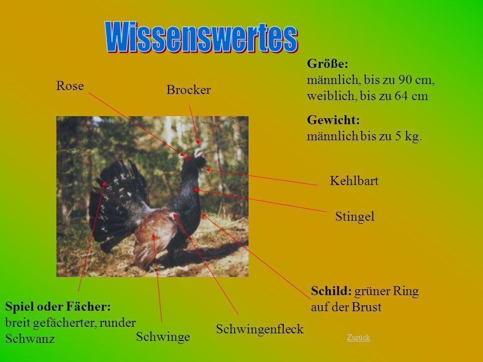Größe: männlich, bis zu 90 cm, weiblich, bis zu 64 cm Gewicht: männlich bis zu 5 kg. Rose Schild: grüner Ring auf der Brust Spiel oder Fächer: breit g