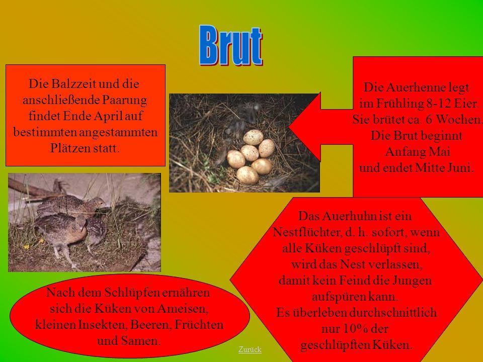 Die Auerhenne legt im Frühling 8-12 Eier. Sie brütet ca. 6 Wochen. Die Brut beginnt Anfang Mai und endet Mitte Juni. Das Auerhuhn ist ein Nestflüchter