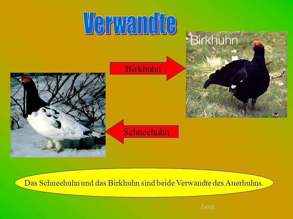 Birkhuhn Das Schneehuhn und das Birkhuhn sind beide Verwandte des Auerhuhns. Schneehuhn Zurück