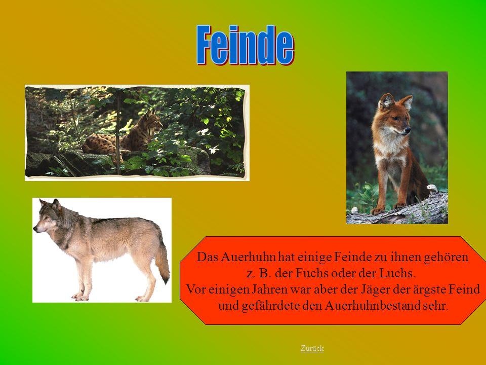 Das Auerhuhn hat einige Feinde zu ihnen gehören z. B. der Fuchs oder der Luchs. Vor einigen Jahren war aber der Jäger der ärgste Feind und gefährdete