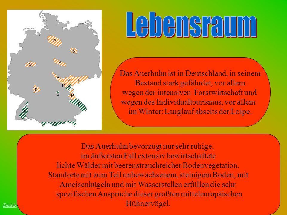 Das Auerhuhn ist in Deutschland, in seinem Bestand stark gefährdet, vor allem wegen der intensiven Forstwirtschaft und wegen des Individualtourismus,