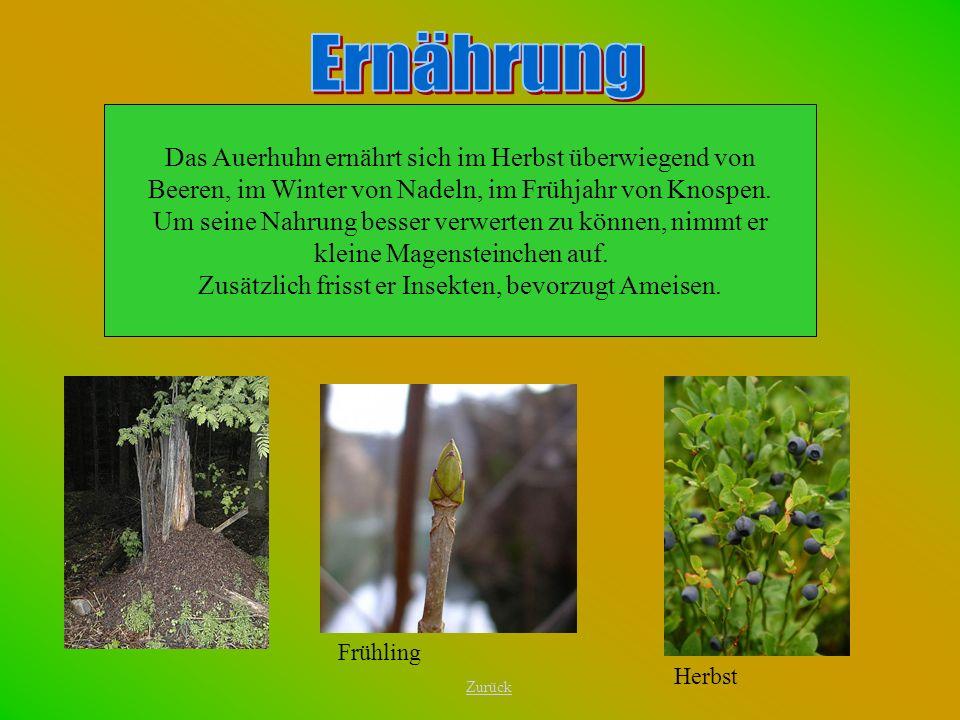 Das Auerhuhn ernährt sich im Herbst überwiegend von Beeren, im Winter von Nadeln, im Frühjahr von Knospen. Um seine Nahrung besser verwerten zu können