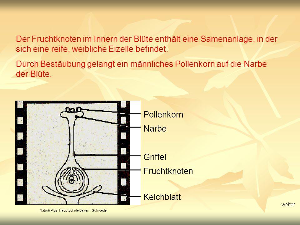 Natur5 Plus, Hauptschule Bayern, Schroedel Pollenkorn Narbe Griffel Fruchtknoten Kelchblatt Der Fruchtknoten im Innern der Blüte enthält eine Samenanl