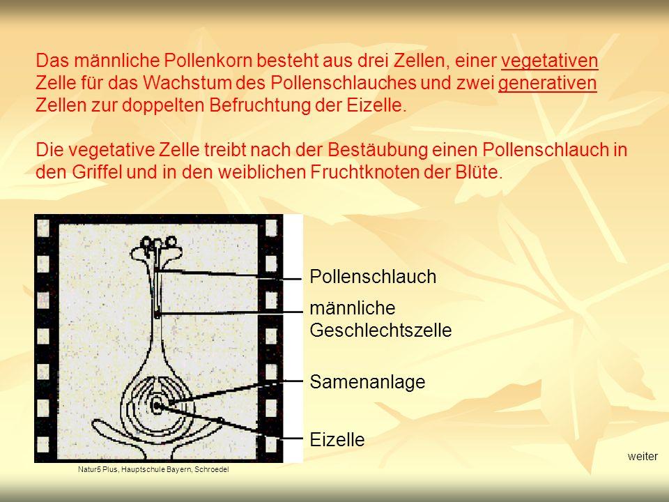 Natur5 Plus, Hauptschule Bayern, Schroedel Befruchtung Bei der Befruchtung verschmilzt eine der generativen Zelle mit der Eizelle, die andere mit weiteren Zellen der weiblichen Samenanlage zur Bildung eines Nährgewebes.