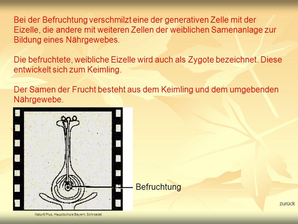 Natur5 Plus, Hauptschule Bayern, Schroedel Befruchtung Bei der Befruchtung verschmilzt eine der generativen Zelle mit der Eizelle, die andere mit weit