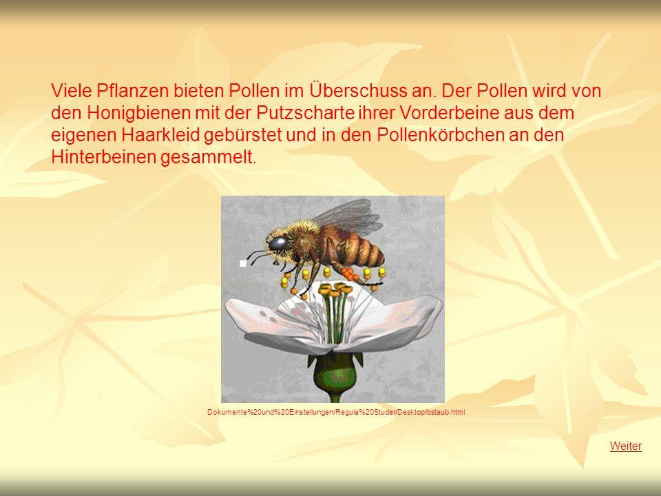 Viele Pflanzen bieten Pollen im Überschuss an. Der Pollen wird von den Honigbienen mit der Putzscharte ihrer Vorderbeine aus dem eigenen Haarkleid geb