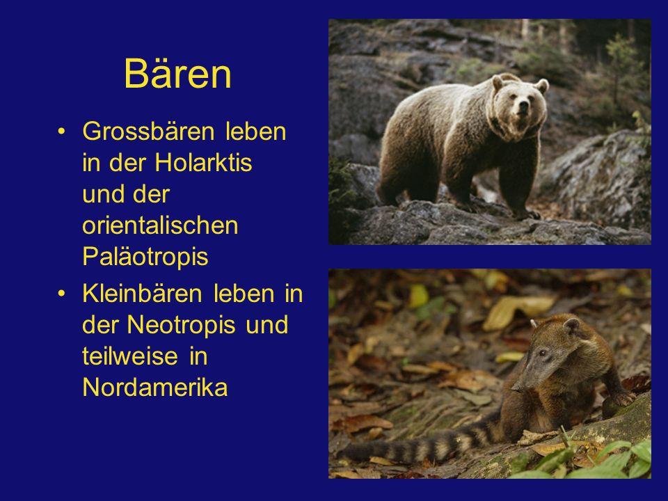 Bären Grossbären leben in der Holarktis und der orientalischen Paläotropis Kleinbären leben in der Neotropis und teilweise in Nordamerika
