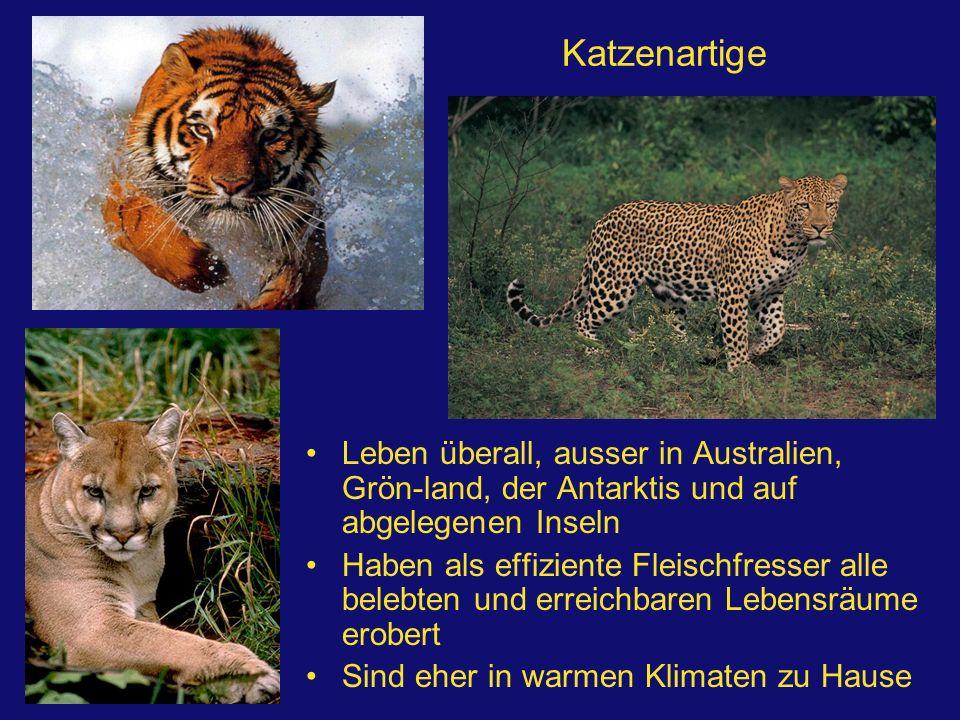 Katzenartige Leben überall, ausser in Australien, Grön-land, der Antarktis und auf abgelegenen Inseln Haben als effiziente Fleischfresser alle belebte