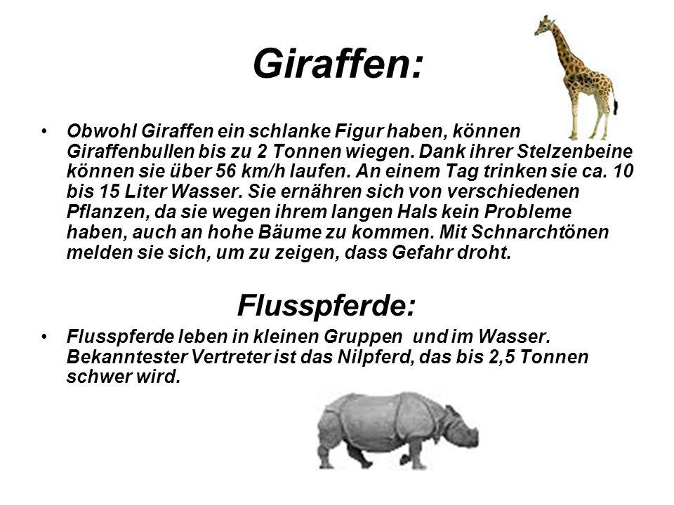 Giraffen: Obwohl Giraffen ein schlanke Figur haben, können Giraffenbullen bis zu 2 Tonnen wiegen. Dank ihrer Stelzenbeine können sie über 56 km/h lauf