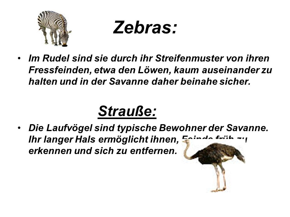 Zebras: Im Rudel sind sie durch ihr Streifenmuster von ihren Fressfeinden, etwa den Löwen, kaum auseinander zu halten und in der Savanne daher beinahe